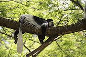 Guereza (Colobus guereza) lying on a branch, Awassa, Ethiopia