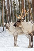 Two reindeer (Rangifer tarandus) in snow, captive, Kivilompolio, near Rovaniemi, Lapland, Finland, Europe