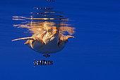 Loggerhead sea turtle (Caretta caretta) swimming under the surface of the ocean, accompanied by a pilot fish (Naucrates ductor). Tenerife, Canary Islands