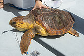 Loggerhead sea turtle (Caretta caretta) . A turtle that has swallowed a nylon with a hook. Longline fishing. Tenerife, Canary Islands.