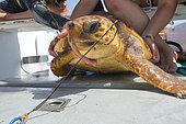 Loggerhead sea turtle (Caretta caretta). A turtle that has swallowed a nylon with a hook. Longline fishing. Tenerife, Canary Islands.