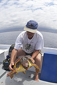 Loggerhead sea turtle (Caretta caretta) . Sampling, turtle inventory (coordinates, weight, measurement, ...).Tenerife, Canary Islands