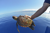 Loggerhead sea turtle (Caretta caretta) . Release of a young turtle. Sampling, turtle inventory (coordinates, weight, measurement, photo identification,...).Tenerife, Canary Islands.