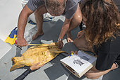 Loggerhead sea turtle (Caretta caretta) . Sampling, turtle inventory (coordinates, weight, measurement, photo identification,...).Tenerife, Canary Islands