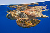 Loggerhead sea turtle (Caretta caretta) swimming under the surface of the ocean. Tenerife, Canary Islands