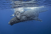 Young Humpback whale (Megaptera novaeangliae) hugging its mother, Kingdom of Tonga