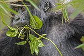 Young mountain gorilla (Gorilla gorilla berengei) looks through leaves, Rwanda