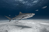 Tiger shark (Galeocerdo cuvier) swimming on a sandy bottom - Bahamas