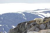 Polar bear (Ursus maritimus) on rock, Svalbard, Norway