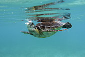 Turtle blowing bubbles, Mexico