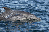 Indian Ocean bottlenose dolphin (Tursiops aduncus) female swimming with her young on the surface, South Africa