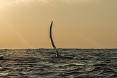 Humpback whale (Megaptera novaeangliae) rising its fin with sunrise, Arctic