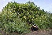 Badger (Meles meles) Young badger scratching , England, Spring