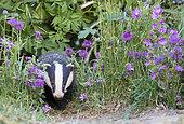 Badger (Meles meles) Badger amongst flowers, England, Summer
