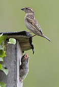 House sparrow (Passer domesticus) Chick waiting for food at the entrance of the nest box, England, Spring