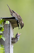 House sparrow (Passer domesticus) Female sparrow feeding her young, England, Spring
