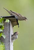 House sparrow (Passer domesticus) Female feeding her chick, England, Spring