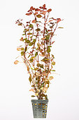 Ludwigia 'Super Red' in pot on white background