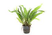Java Fern (Microsorium pteropus) 'Philippines' in pot on white background