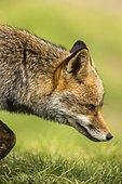 Portrait of Red fox (Vulpes vulpes), Cordoba, Spain
