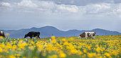 Vosgienne cows, Mountain Pasture, Route des Crêtes, Vosges, France