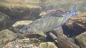 European grayling (Thymallus thymallus), Thur river, Haut-Rhin, Alsace, France