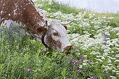 Vosgienne cow grazing, Mountain Pasture, Route des Crêtes, Vosges, France