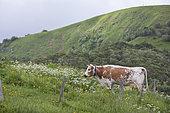 Vosgienne cow, Mountain Pasture, Route des Crêtes, Vosges, France