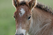 Ardennais draught, portrait of foal in the meadow, France