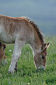 Ardennais draught, foal grazing in the meadow, France