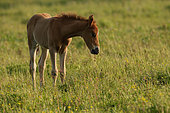 Ardennais draught, foal in the meadow, France