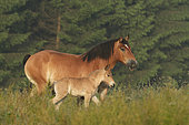 Ardennais draught and foal in the meadow, France