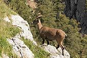 Ibex (Capra ibex) on rock, Creux du Van, Jura, Switzerland