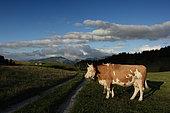 Simmental cow by the track, Sparenmoos, Zweisimmen, Alps, Switzerland