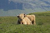 lHighland Cows, Mull Island, Scotland