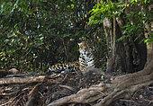 Jaguar (Panthera onca) Pantanal, Mato Grosso do Sul, Brazil.