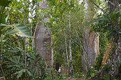 Kapokier (Ceiba pentandra) avec personnage à sa base pour montrer l'échelle, Darien, Panama.