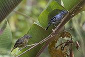 Batara à nuque noire (Thamnophilus atrinucha) couple sur une branche, mâle à droite, Darien, Panama