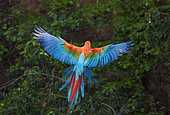 Red and Green Macaw or Green-winged Macaw (Ara chloropterus) landing, Mato Grosso do Sul, Brazil, South America