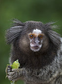 Black Tufted-ear Marmoset (Callithrix penicillata) eating insect prey, Ilha Grande, Brazil, South America.