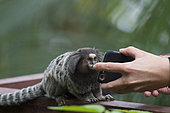 Black Tufted-ear Marmoset (Callithrix penicillata) viewing itself via the 'selfie' function of a mobile phone, Ilha Grande, Brazil, South America.