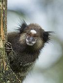 Black Tufted-ear Marmoset (Callithrix penicillata) young, Ilha Grande, Brazil, South America.