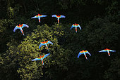 Red and Green Macaws or Green-winged Macaws (Ara chloropterus) in flight over canopy, Mato Grosso do Sul, Brazil, South America