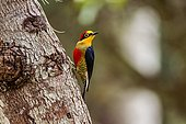 Yellow-fronted Woodpecker (Melanerpes flavifrons), photographed in Sooretama/Linhares Linhares, Espirito Santo - Brazil. Atlantic Forest Biome.