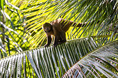 Crested capuchin (Sapajus robustus) Threatened of extinction, photographed in Linhares / Sooretama, Espírito Santo - Southeast of Brazil. Atlantic Forest Biome. Wild animal.