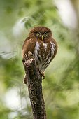 Least Pygmy-Owl (Glaucidium minutissimum), the smallest owl of the world, photographed in Linhares, Espírito Santo - Southeast of Brazil. Atlantic Forest Biome.