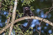 Hybrid marmoset. They are a mix of 2 species of marmoset of the genus Callithrix, New World monkeys of the family Callitrichidae. Photographed in Santa Teresa, Espírito Santo - Brazil. Atlantic forest Biome. Wild animal.