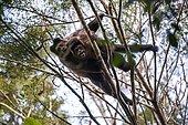 Black capuchin (Sapajus nigritus) typical of the Atlantic Forest of southeastern Brazil. Photographed in Cariacica, Espírito Santo - Brazil. Atlantic forest Biome. Wild animal.