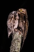 Mother Common Potoo (Nyctibius griseus) feeding her baby, photographed in Vitória, Espírito Santo - Southeast of Brazil. Atlantic Forest Biome.