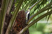 """White Woodpecker (Melanerpes candidus), photographed in Linhares, Espírito Santo - Southeast of Brazil. Atlantic Forest Biome."""""""